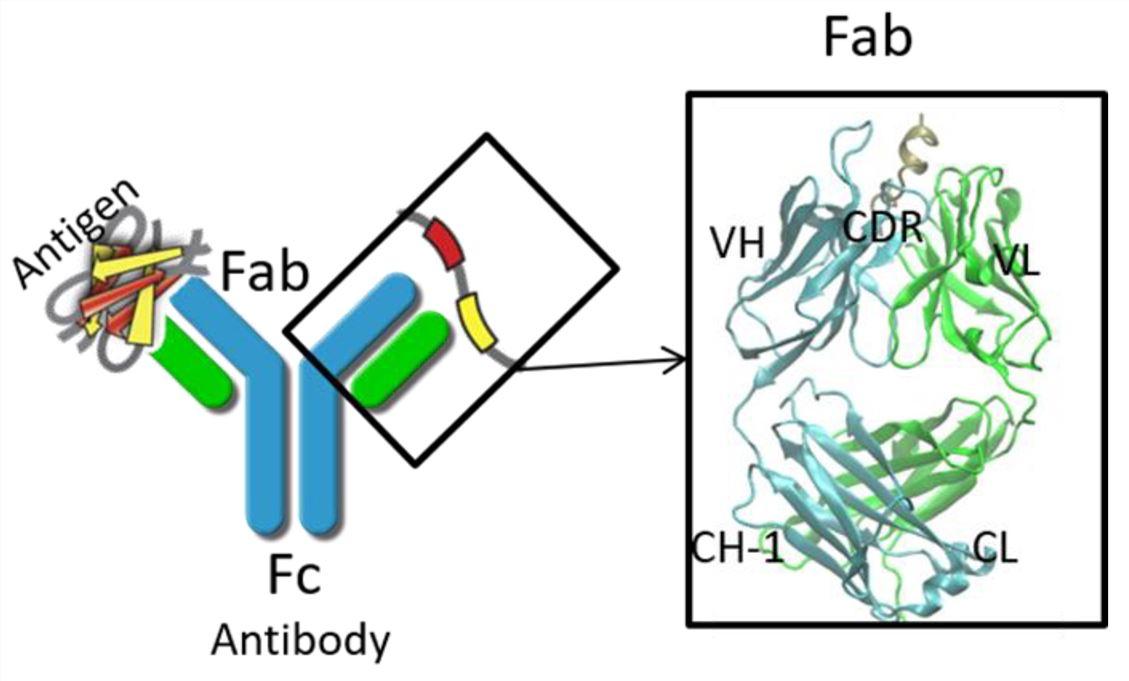 Antibody design.