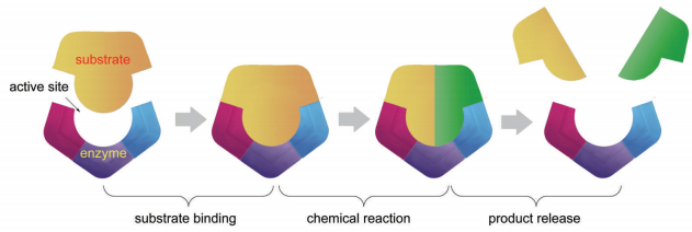 Enzymatic process (substrate binding, chemical reaction, and product release).